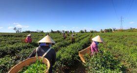 culture bio pour le thé
